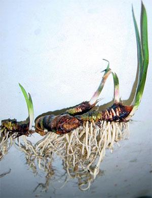 Корень аира болотного. Применение, лечение, свойства, рецепты