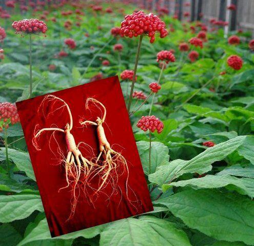 Женьшень. Растения силы. Адаптогены