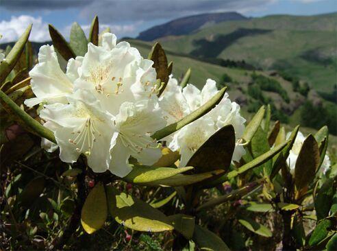 Саган-Дайля (рододендрон Адамса). Растения силы