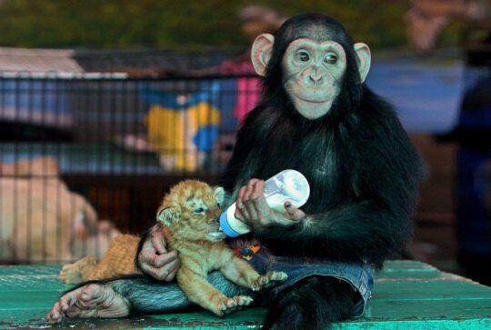 Шимпанзе кормит тигренка