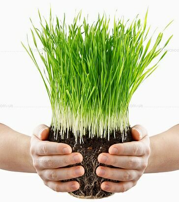 Проростки пшеницы. Фото