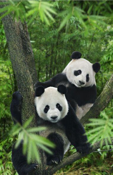 Сингапурский зоопарк. Панды. Фото